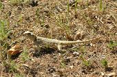 picture of lizard skin  - Lizard basking in the sun - JPG