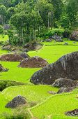 image of nasi  - Green rice terraces in Tana Toraja South Sulawesi Indonesia - JPG