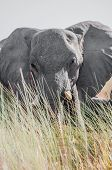 stock photo of elephant ear  - A large grey elephant stares at the viewer from behind some tall grasses with slightly obscures the bottom of the animal while his big ears are spread wide open - JPG