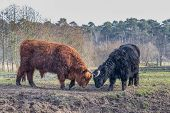 stock photo of highland-cattle  - Fighting black and brown scottish highlander cow and bull in sunny spring season - JPG