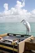 foto of fish skin  - An egret observes a fish being cleaned n hopes of scavenging some wastes - JPG