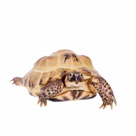 stock photo of russian tortoise  - Russian or Central Asian tortoise Agrionemys horsfieldii - JPG