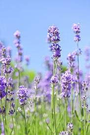 image of lavender field  - Lavender herb blooming in a garden with blue sky - JPG