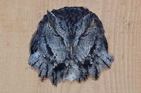 stock photo of screech-owl  - Evil Looking Western Screech - JPG