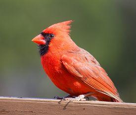 stock photo of cardinal-bird  - Bright red cardinal bird on a wood deck with a green background - JPG