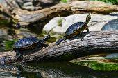 stock photo of carapace  - Water turtles in row marching on a log  - JPG