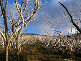 stock photo of bogong  - Trees line the pathway up to the summit of a mountain - JPG