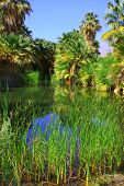 stock photo of tallgrass  - Native California Fan Palm Tree oasis taken in Thousand Palms - JPG