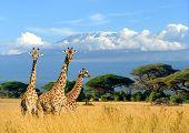 Three Giraffe On Kilimanjaro Mount Background In National Park Of Kenya poster