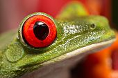 The eye of a red eyed tree frog one of the most beautiful in the animal kingdom poster