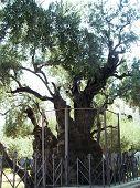 Olive of Gethsemane