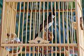 image of spigot  - Bird Spigot in a bird Cage of thailand - JPG