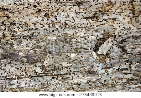 Old Log With Woodworm Holes