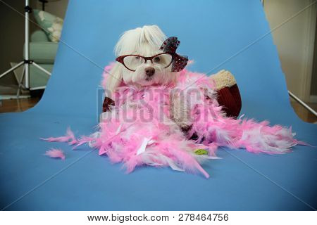 poster of Behind the Scenes Dog Photo Shoot. Beautiful Maltese Dog with a Pink and White feather boa in a dog