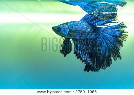 Blue siamese fighting fishHalfmoon betta
