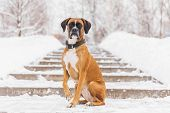 Brown Pedigreed Dog Sitting On The Snowy Road. Boxer poster