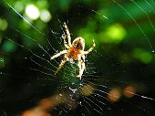 image of spider web  - spider weaving his web - JPG