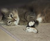 Funny Beautiful Cat Playing With A Mouse. Selective Focus. Focus On Mouse poster