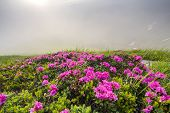 Lit By Sun Lavishly Blooming On Grassy Mountain Meadow Dense Rhododendron Rue Bush With Bright Pink  poster