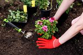 Gardener Woman Planting Flowers In Her Garden, Garden Maintenance And Hobby Concept poster