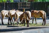 Brown Adult Horses Of Przhevalsky Eat Oats And Other Cereals During The Day In The Summer At The Zoo poster
