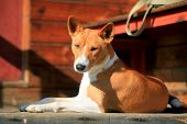 Basenji-Hund auf der Veranda