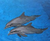 mother dolphin with calf