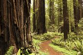 picture of redwood forest  - Path through redwood forest along avenue of the giants - JPG