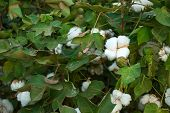 image of pima  - A Pima cotton plant with white tuffs as blooms fills the frame - JPG