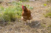 Brown Hen With White Legs Is Thinking
