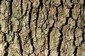 Oak Bark Texture