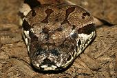 picture of timber rattlesnake  - Close up photo of a timber rattlesnake taken with macro lens - JPG