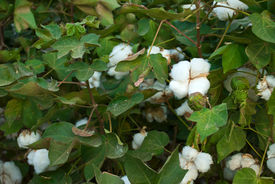 picture of pima  - A Pima cotton plant with white tuffs as blooms fills the frame - JPG