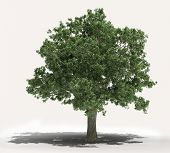 A tree on a light background, no environment