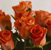 Bunch of orange roses in close up