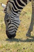 Common Zebra Grazing