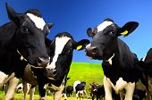 foto of cows  - Black and white cows on the field in the farm - JPG