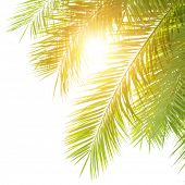Closeup on green palm leaves border isolated on white shy background, fresh exotic tree foliage, par