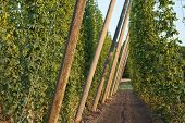 foto of bine  - hop garden with hop pole in the vegetation - JPG