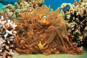 Red Sea Anemonefish (Clownfish)