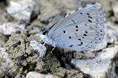 Spring Azure Butterfly on Gravel