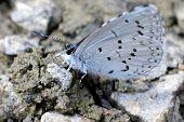 Spring Azure Butterfly on Gravel