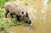 Bornean Bearded Boar