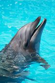 Trained Dolphin Swims In The Pool Water
