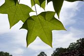 Five Pointed Leaves