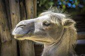 stock photo of dromedaries  - Dromedary portrait in some zoo at summer. ** Note: Slight graininess, best at smaller sizes - JPG