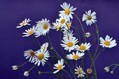 German Chamomile Flowers - Matricaria Chamomilla