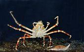 Snow Or Alaskan King Crab