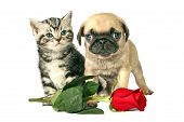 stock photo of fluffy puppy  - British Shorthair kitten and little Pug puppy with a red rose for Valentines day - JPG
