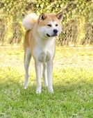 foto of akita-inu  - A front en face view of a young beautiful white and red Akita Inu dog standing on the grass. 